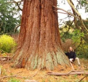 sequoia belgique