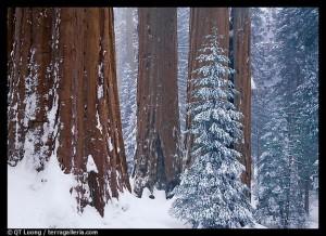 sequoia sous la neige